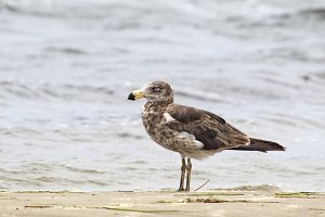 Pacific gull (Larus pacificus)