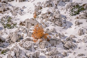 Lonely larch tree in snow