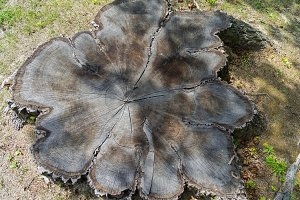 Top view of a large tree stump.