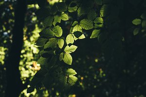 Green Leaves of European Forest