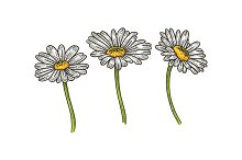 Chamomile daisy flower sketch vector