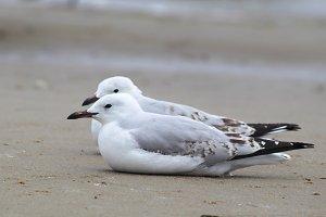 Two Silver Gulls