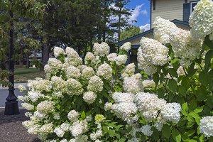 Bush of blooming white hydrangea