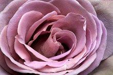 Purple close up rose