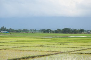 rice plant farmers planting rice.