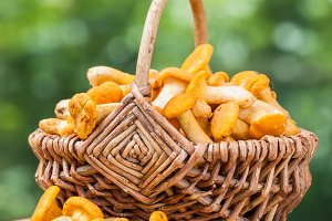 Chanterelles in wicker basket