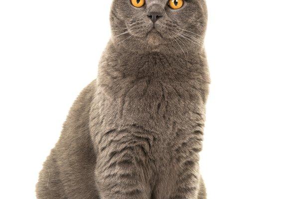 Pretty Grey British Shorthair Cat High Quality Animal Stock