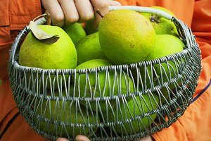 Organic Pears in a Basket outdoor.
