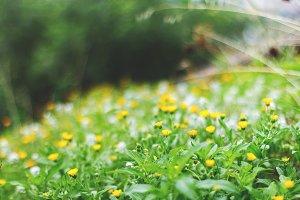 Calendula meadow in blossom