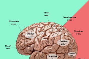 realistic human brain, scheme