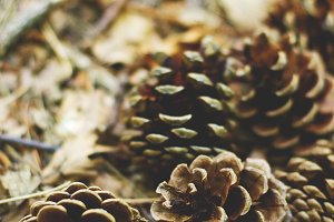 Pinecones in the forest