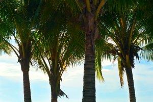 Palm Tree. Thailand