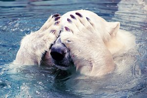 Large polar bear stock photo containing swim and bear