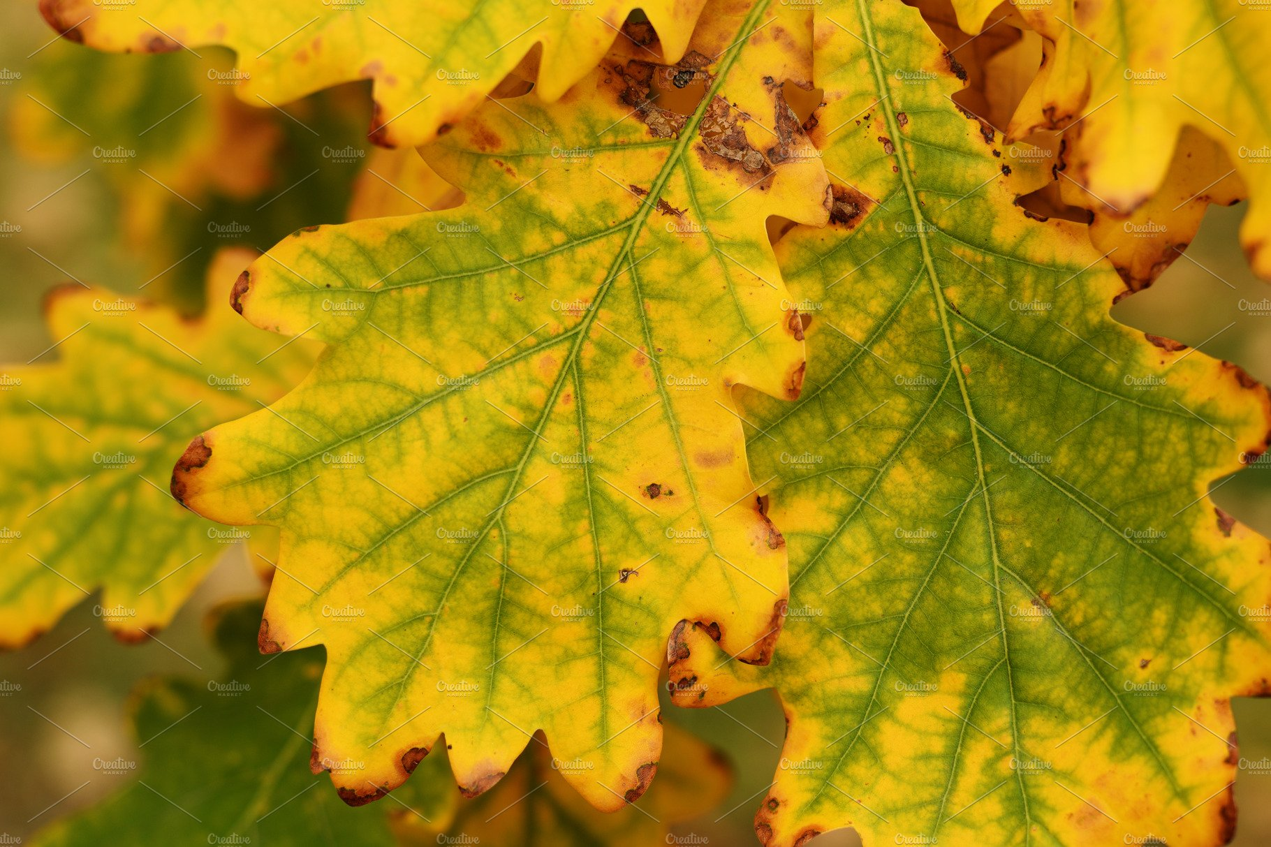 Autumn Oak Leaves Close Up High Quality Nature Stock Photos Creative Market
