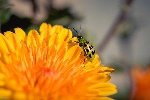 Little Green Beetle
