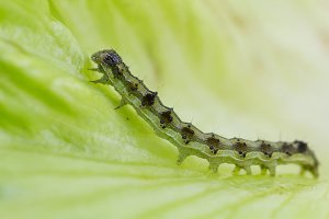 Macro green caterpillar