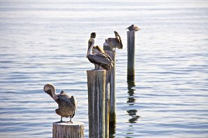 Pelicans at the Bay