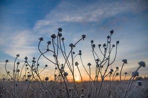 Strange stalks of frozen grass
