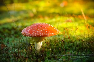 Red Mushroom in the Morning. LIVE