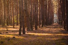 Pine Tree Forest at the Morning