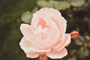 Bright Pink Roses Background