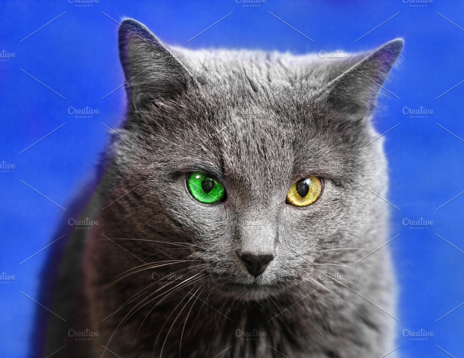 Grey Cat With Green And Yellow Eyes High Quality Animal Stock