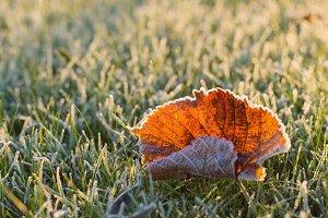 Frosty leaf against sunrise light