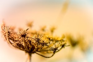 Withered and dry plant