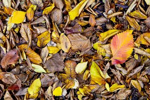 Autumn fallen leaves
