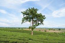 large tree in tea plantation