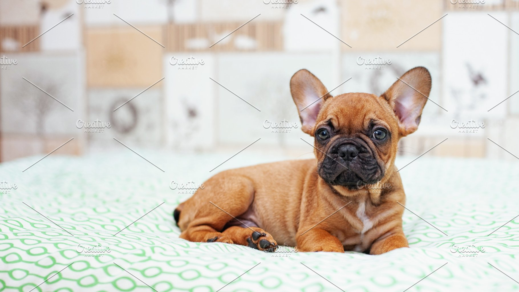 Cute French Bulldog Puppy High Quality Animal Stock Photos