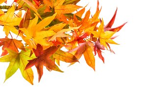 Red green yellow maple leaves
