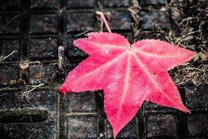 Liquidambar leaf