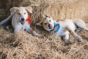 Two cute dogs playing on the straw