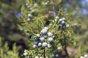 Cypress cones of a  juniper.