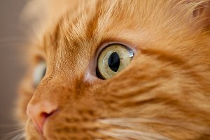 Close-up of a Ginger Cat