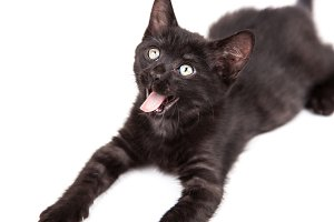 Black Kitten on White Background