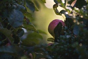 Apples 2 (landscape)