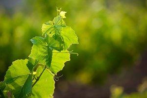 Vine leafs