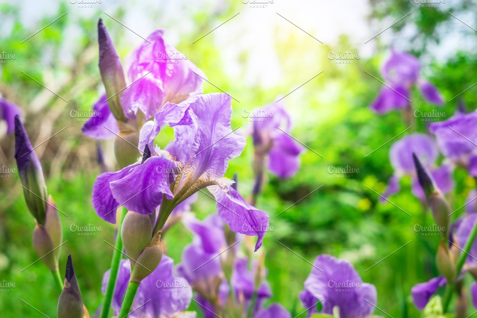 Close Up Of Purple Iris Flowers On High Quality Nature Stock