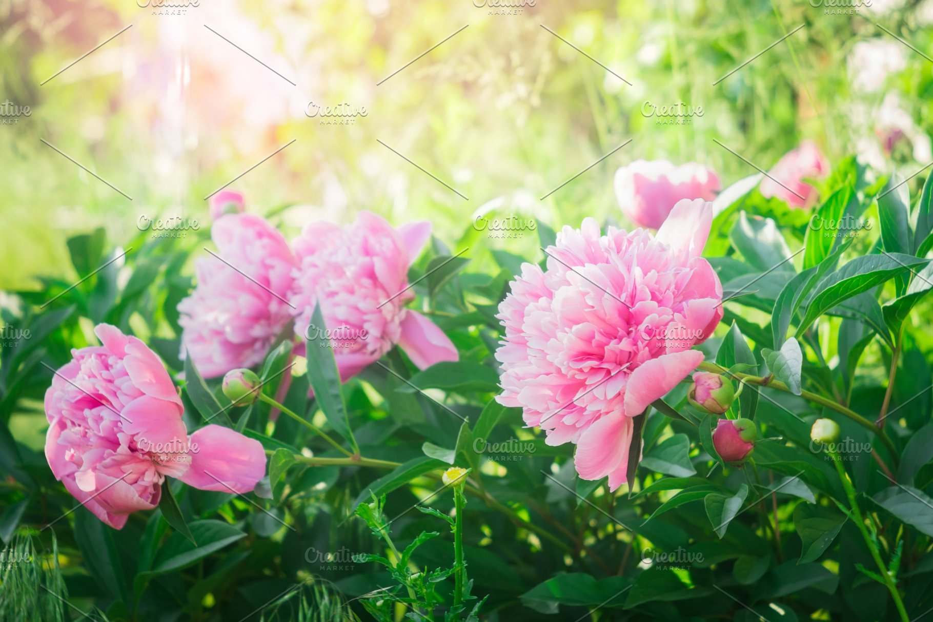 Flowering Peonies Pink Flowers Pink High Quality Nature Stock