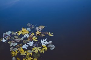 Yellow Autumn Leaves in Water. LIVE