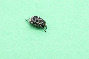 black bedbug