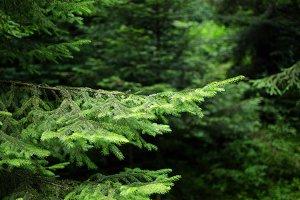 ↟Fir forest background↟