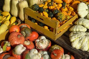 Harvest of pumpkins