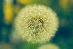 dandelion on detail
