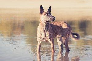 Belgian Malinois dog playing