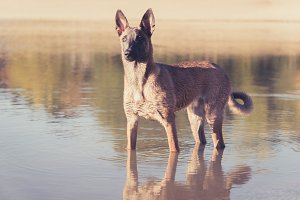 Belgian Malinois dog playing
