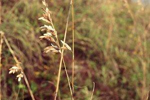 billowing wheat