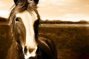 Wild Horse in Sepia